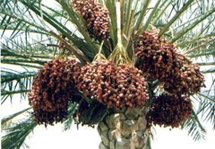 Dates Ripe on tree