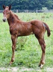colt-horse