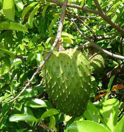 Natural Cure for Cancer - THPSC Soursop Tree In Kerala